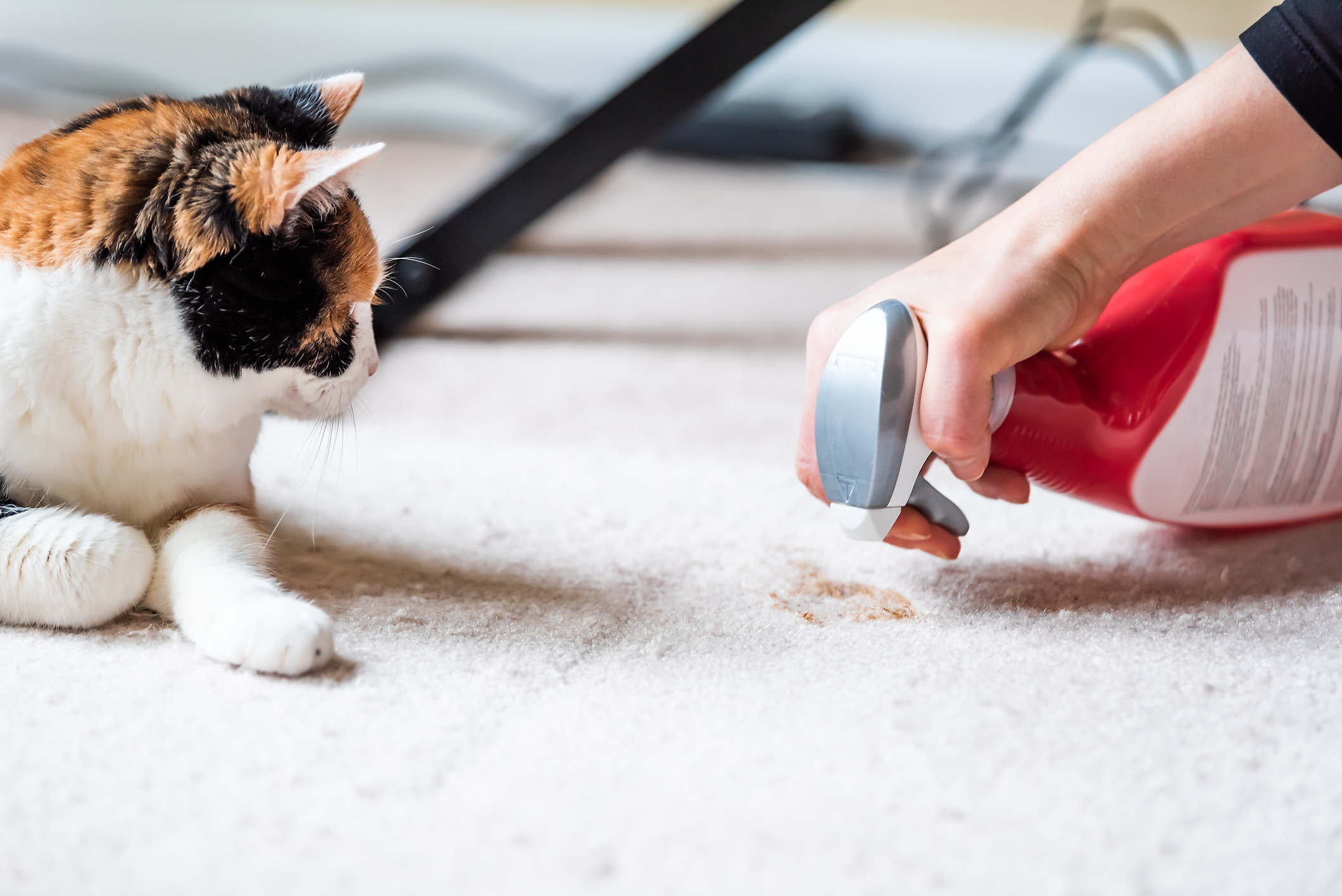 Closeup side profile of calico cat looking at mess on carpet